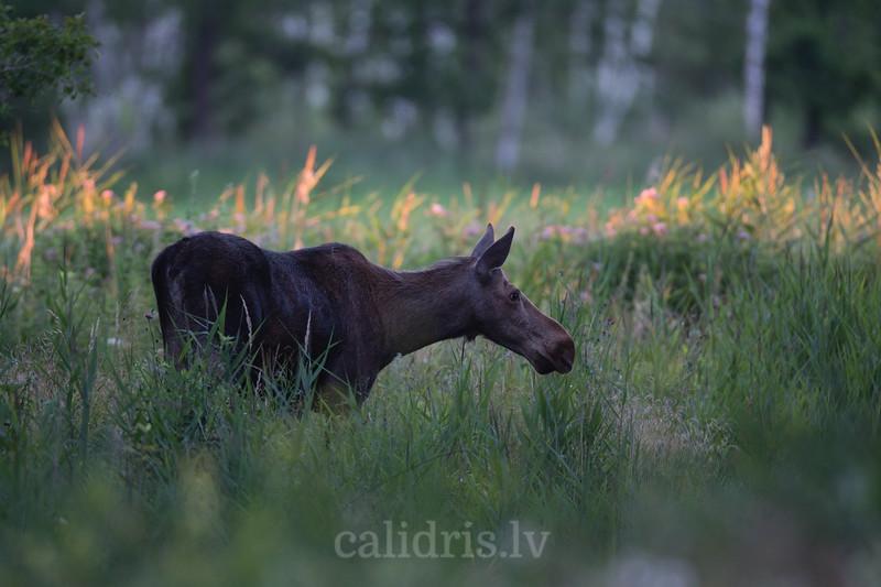 Jauns alnis pie Cenas tīreļa / Young moose near Cenas marsh