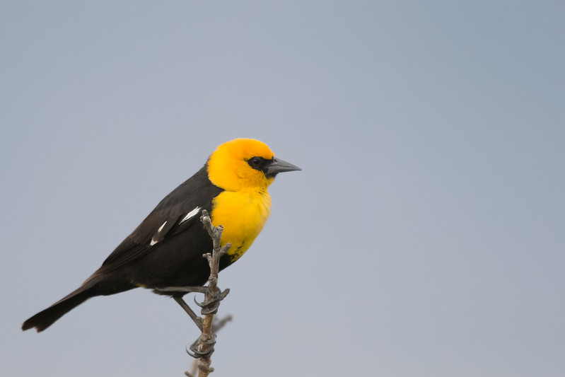 Yellow-headed Blackbird - Male - Sierra Valley & vicinity, CA, USA
