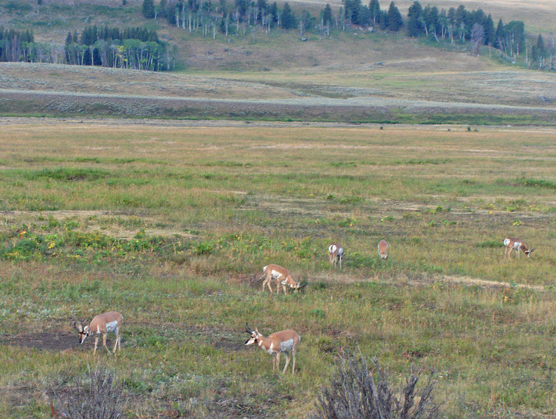 Pronghorn in Lamar Valley. Contributed by Linda Seaman