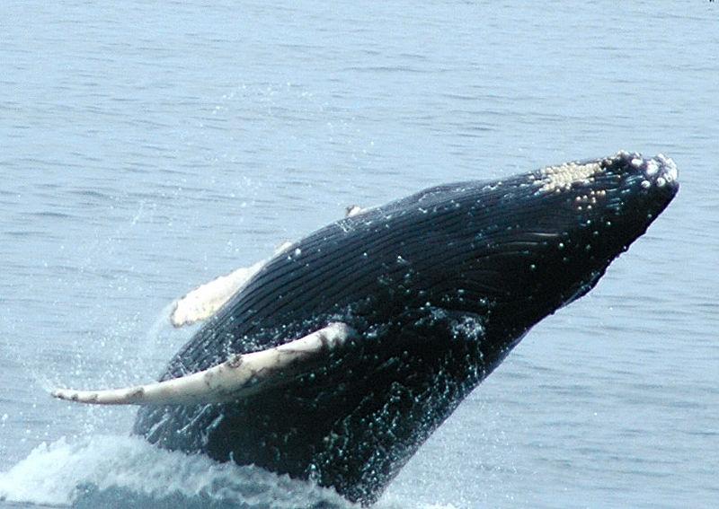 whale backflip3.JPG