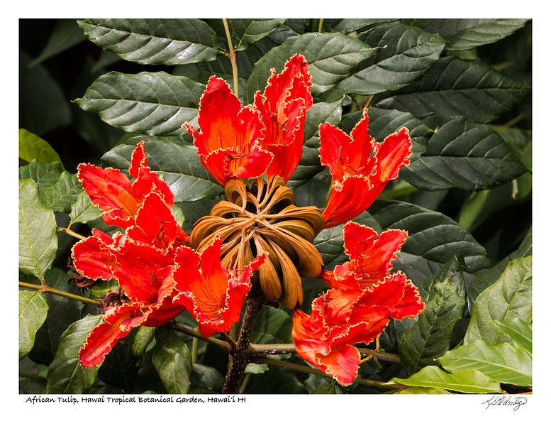 180213_MG_2123 African Tulip.jpg