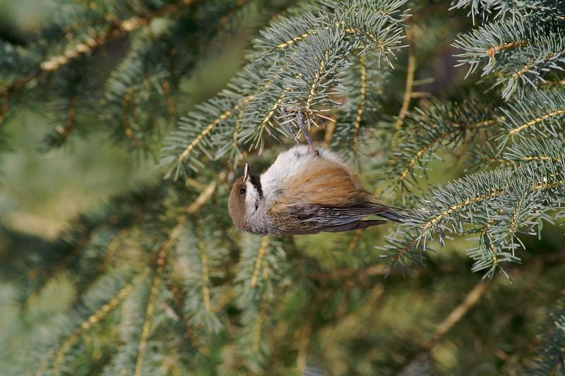 Boreal Chickadee [March; Sax-Zim Bog, Minnesota]