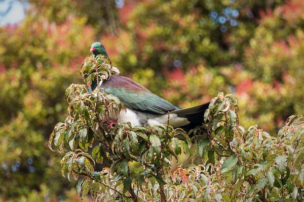 New Zealand Pigeon (Maori-Fruchttaube)