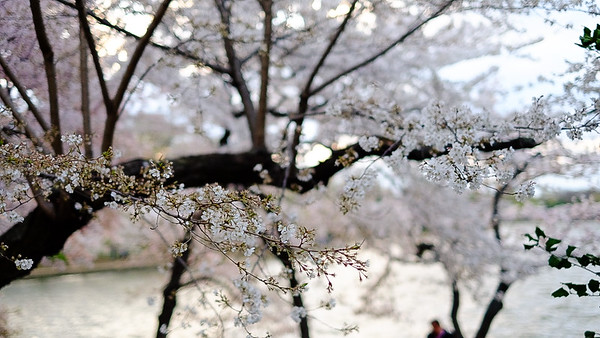 Cherry Blossoms & Dogs