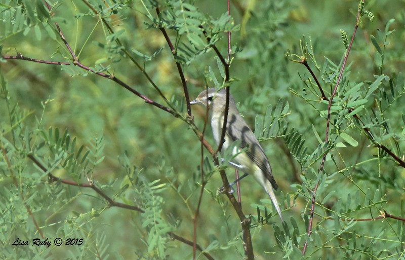 Warbling Vireo - 4/5/2015 - tent sight 110, Agua Caliente