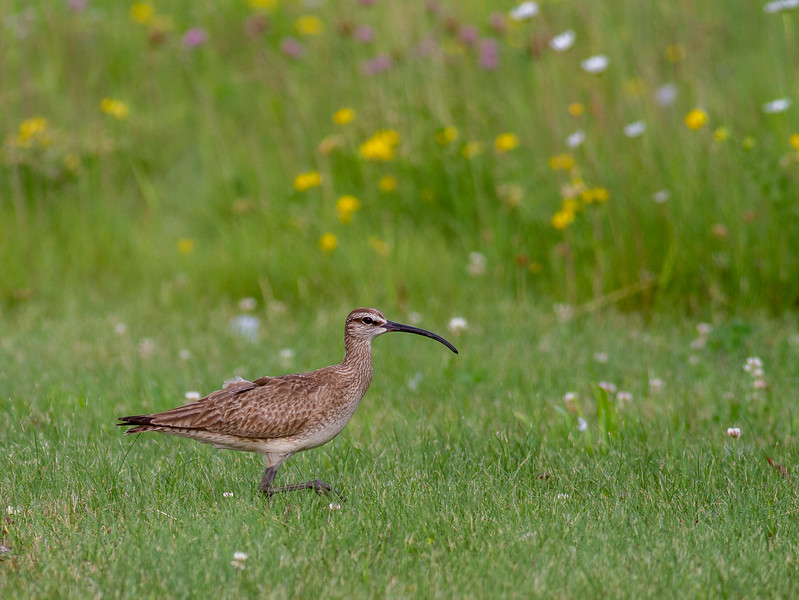 Whimbrel summering on Park Point Duluth MN -0290.jpg
