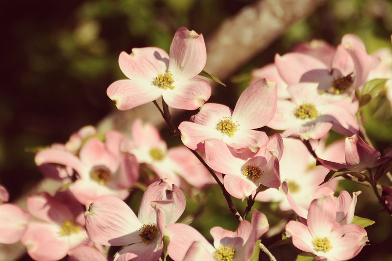 I don't think the pink dogwoods minded the heat.