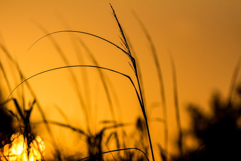 Sea Oats in silhouette as the sun rises.