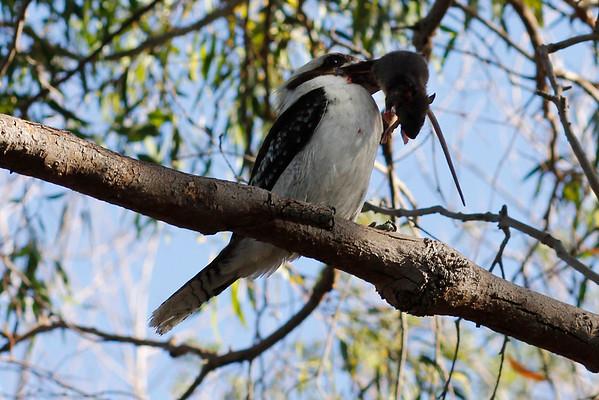 Australian Bird eats rat