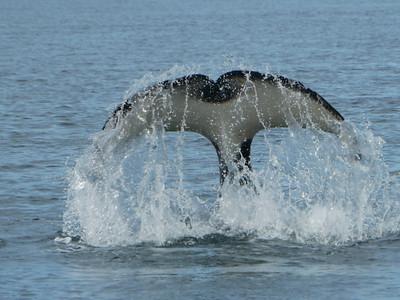 Mi 26.08.09, Quadra Islands (Ruhetag, Whale Watching)