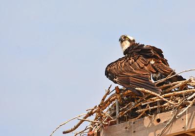 Osprey Nest Over Two Days,  7-12,13-2015