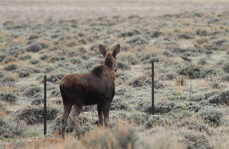 Moose Calf at Sweetwater Station.jpg