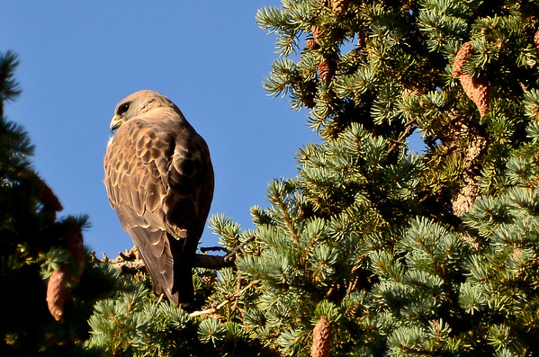 9 2011 Sept 4 Hawk, Osprey, Ducks, Kestrel & Heron