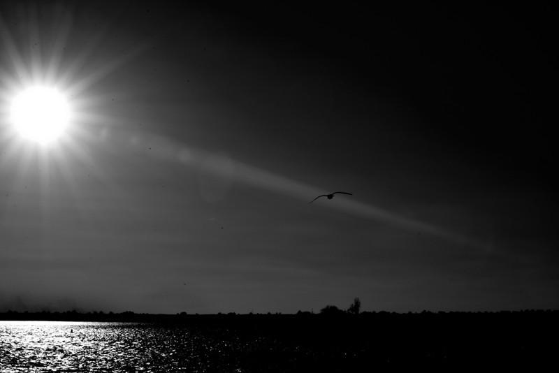 Gull Sun BW.jpg