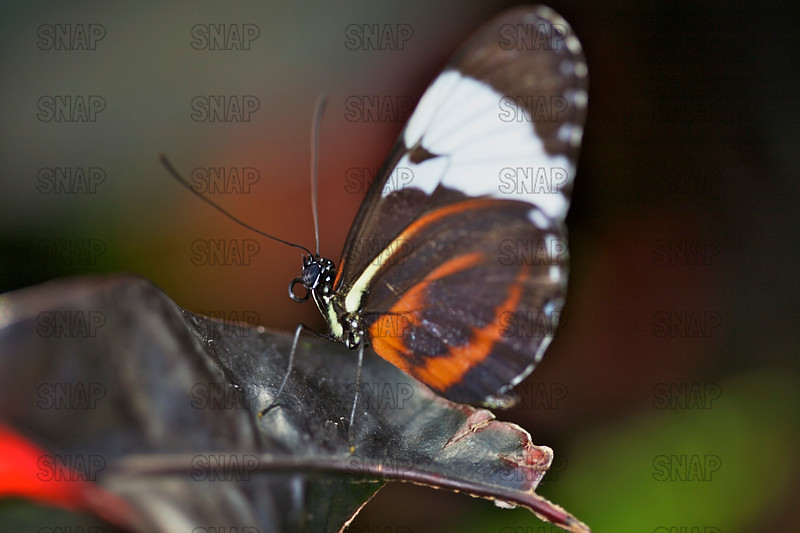 Grinning Heliconian; Blue and White Longwing; Cydno Longwing (Heliconius cydno).