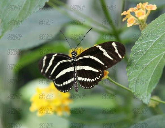 Zebra Longwing, or Zebra Heliconian (Heliconius charithonia).