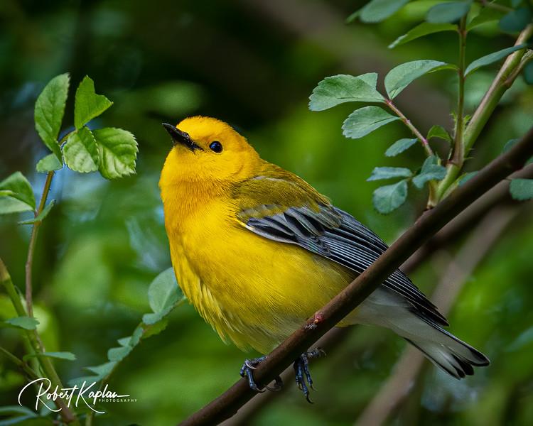 Prothonotary Warbler DeNoised_7905-.jpg