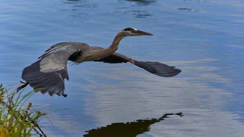Great Blue Heron Launching into Flight