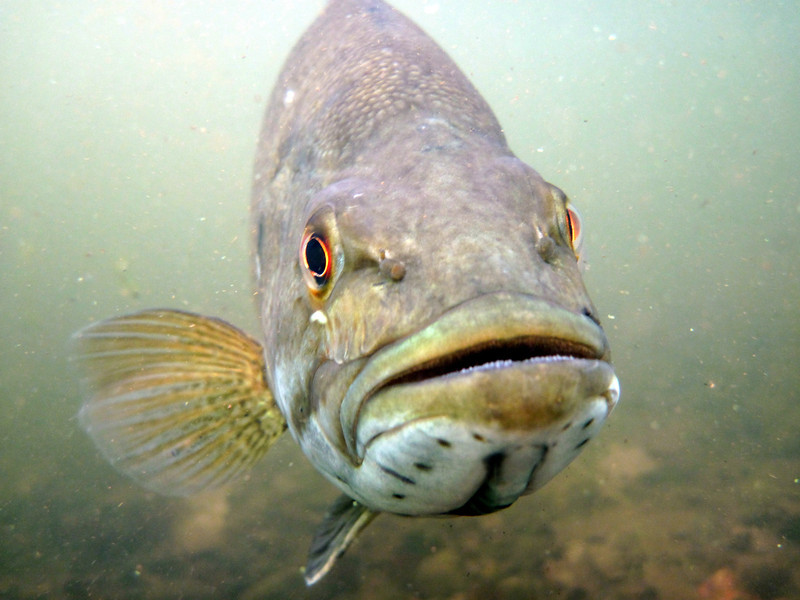 Predators like smallmouth bass also help keep rusty numbers down by eating adults. Bass also love to eat bluegill and, when the lake was missing its cover of aquatic plants, bass hit them hard.