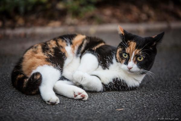 Tortoiseshell Cat - 22nd September 2014