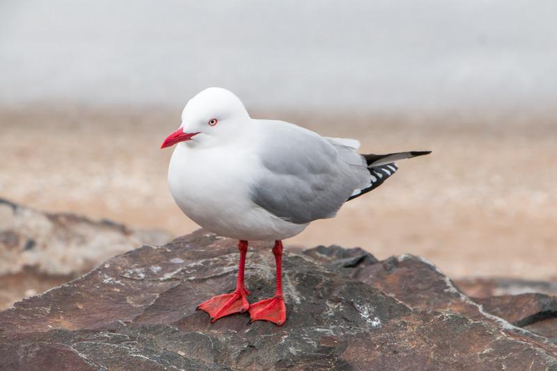 Red-Billed Gull 5805
