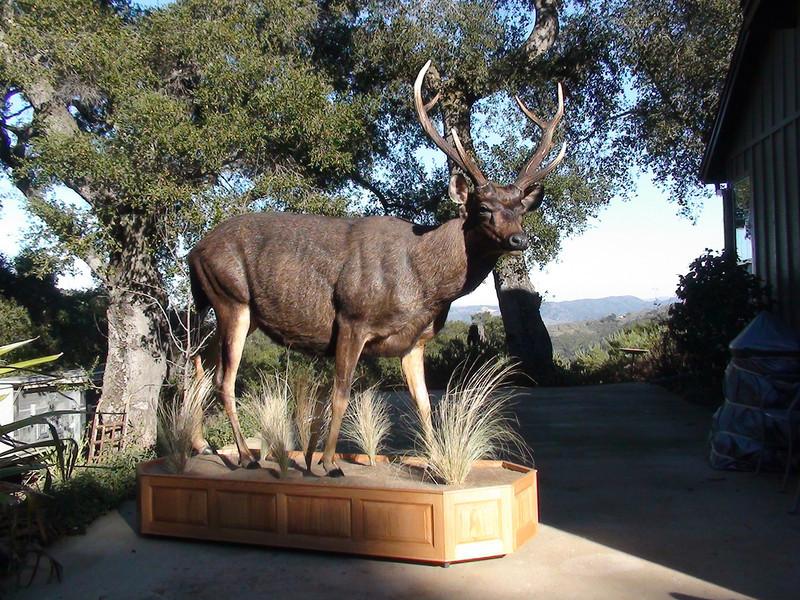 Life-size Sambar Deer Mount Anderson Taxidermy & Guide Service, Inc.  www.THEHUNTPRO.com