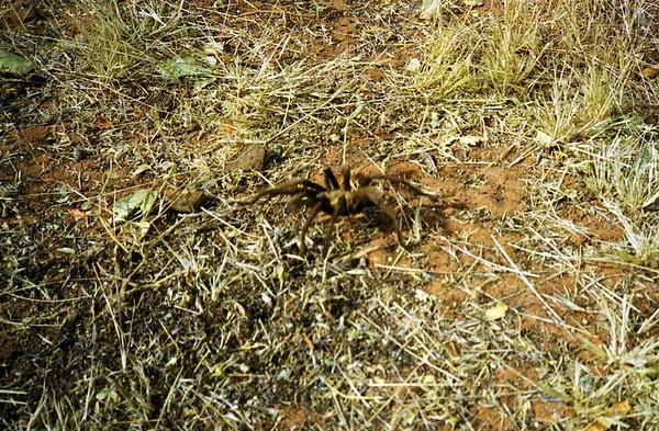 17 Tarantula.jpg