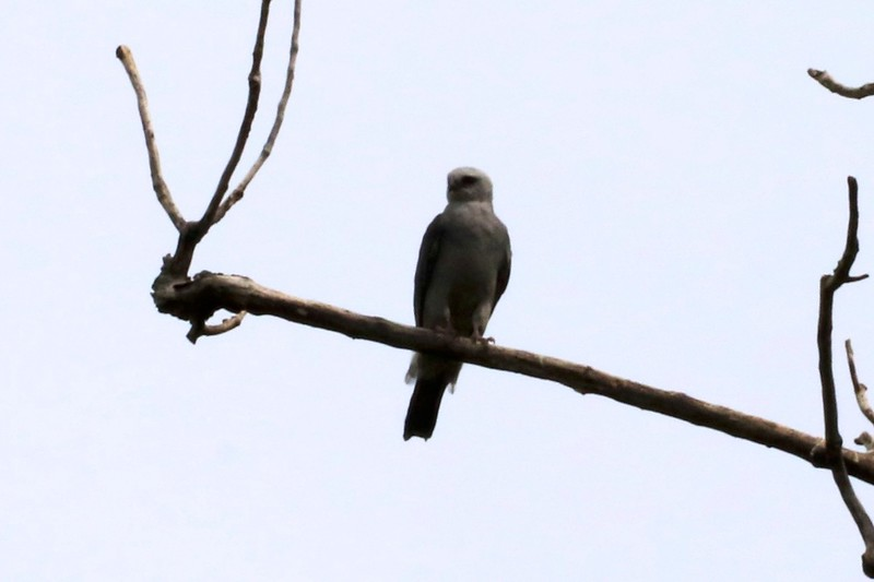 Mississippi Kite @ Columbia Bottom CA