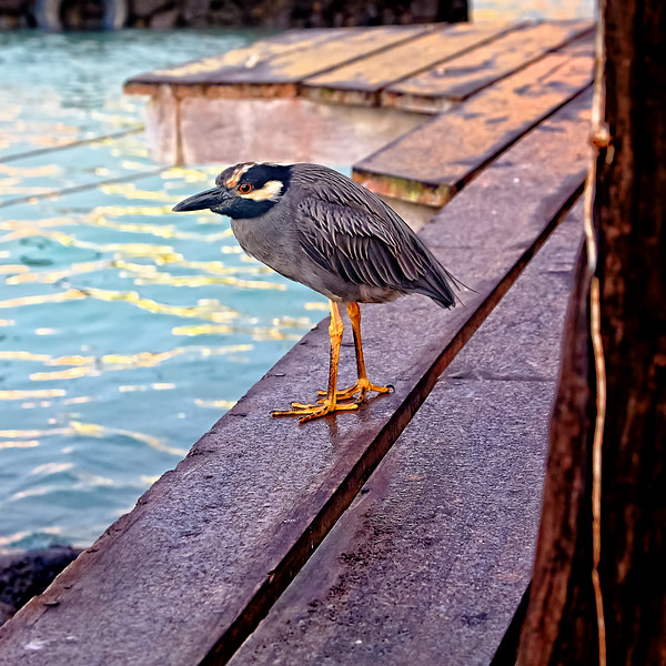 A lava heron traipses about the deck behind Red Mangrove Hotel.