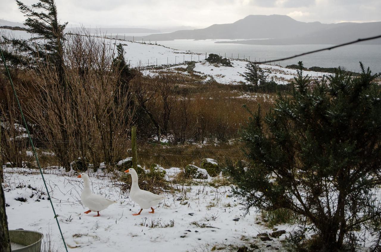 NC500 - Achiltibuie - Snow geese