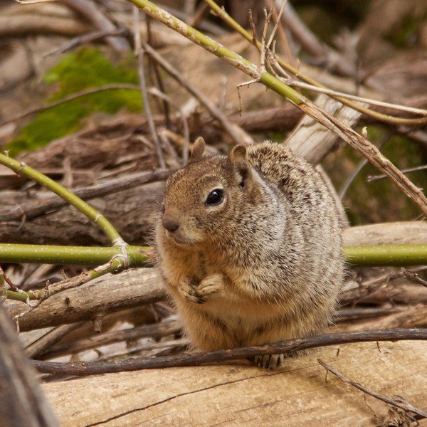 zion ground squirrel