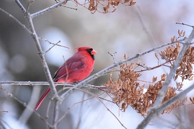 Tanagers, Cardinals, and their Allies