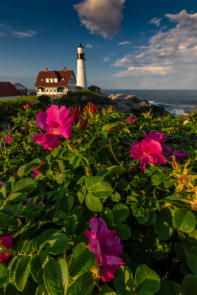 Wild Roses at Portland Head Light 2.jpg