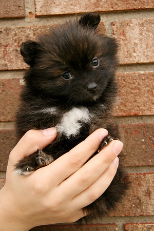 The Pomeranian Gerbil puppies