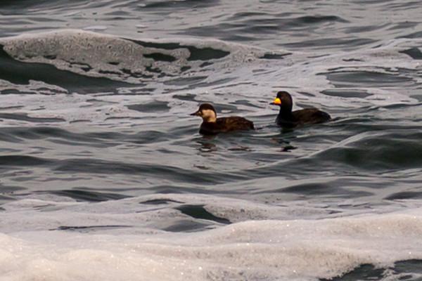 Pair of Black Scoters at Beavertail...