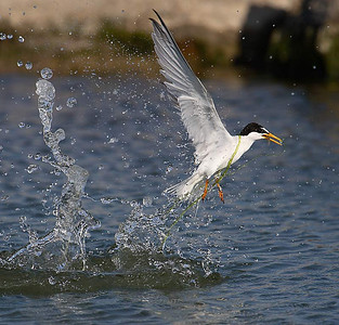 Little Tern (Charrancito)