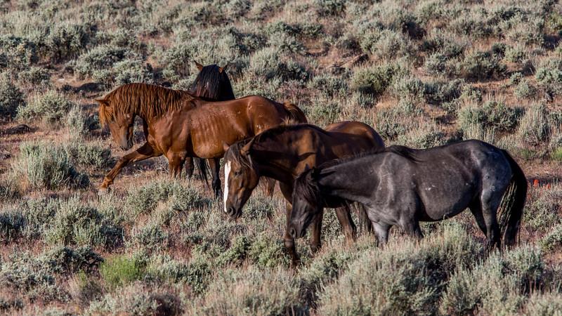 Wild Mustangs 2019-9.jpg