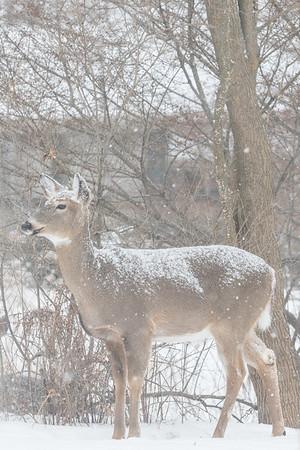 2.26.19 Deer in the Yard