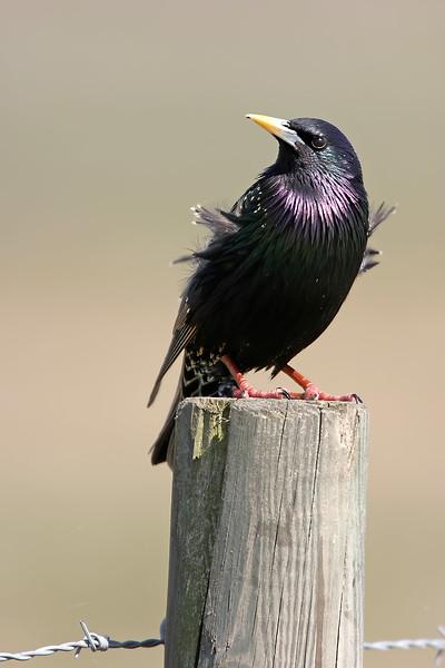 Starar – Starlings