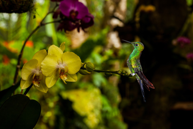 HUMMINGBIRDS FINAL-IMG_9922 - CUT OUT on orchid.jpg