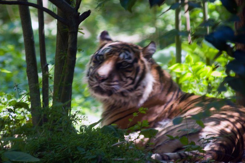 Tiger, Panthera Tigris Sumatrae, Zoo, Atlanta, Georgia, USA