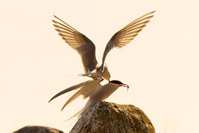 FJORDTERNE - Tern (Sterna hirundo)