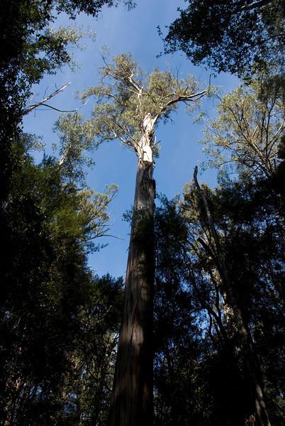 Eucalyptus Regnans 4, Mount Field National Park - Tasmania, Australia
