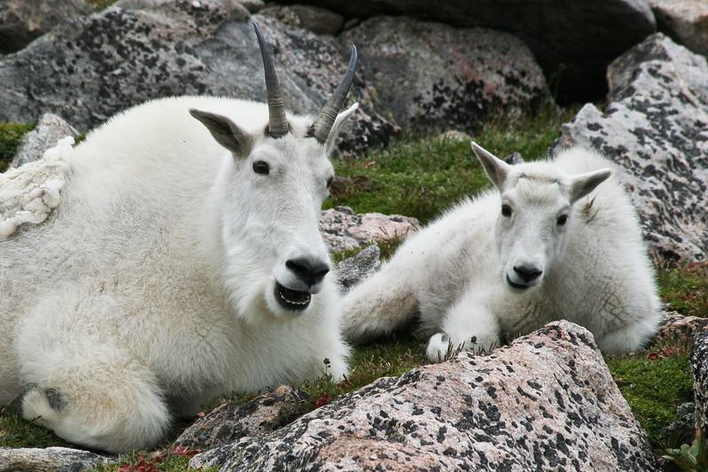 Goofy Goats