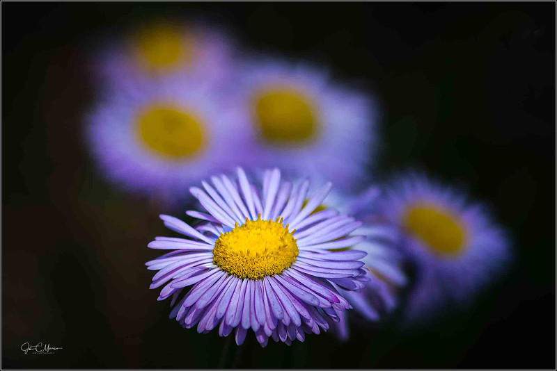 JZ6_3136 Purple Yellow Flowers crop LPNr3W.jpg
