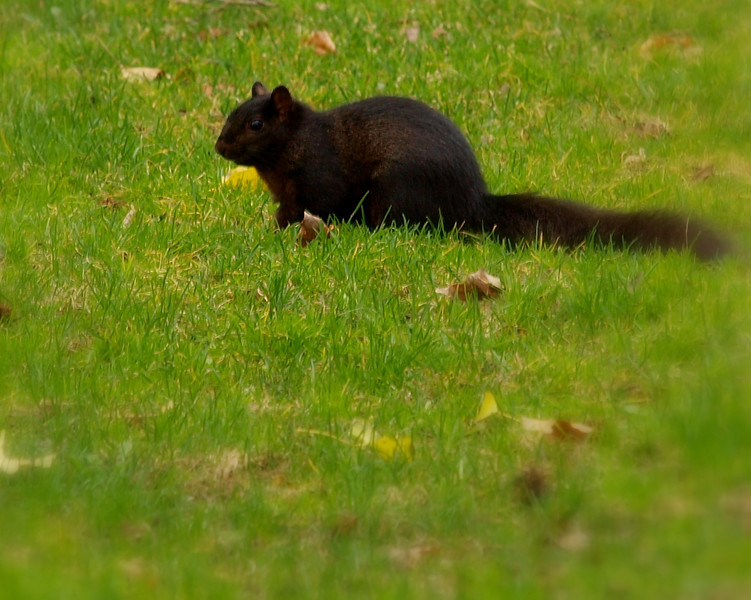 sayen black squirrel.jpg