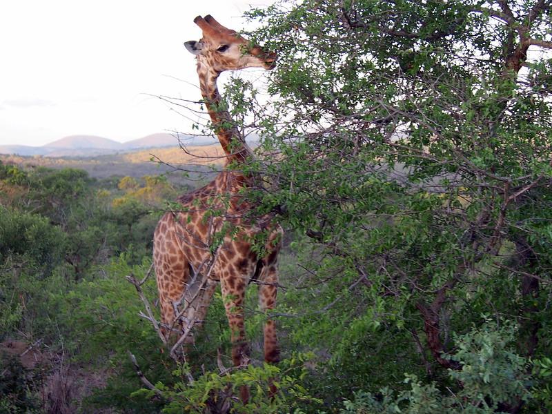 P5046290-giraffe-looking-for-leaves.JPG