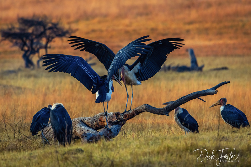 Marabou Stork at Hwange Safari Lodge