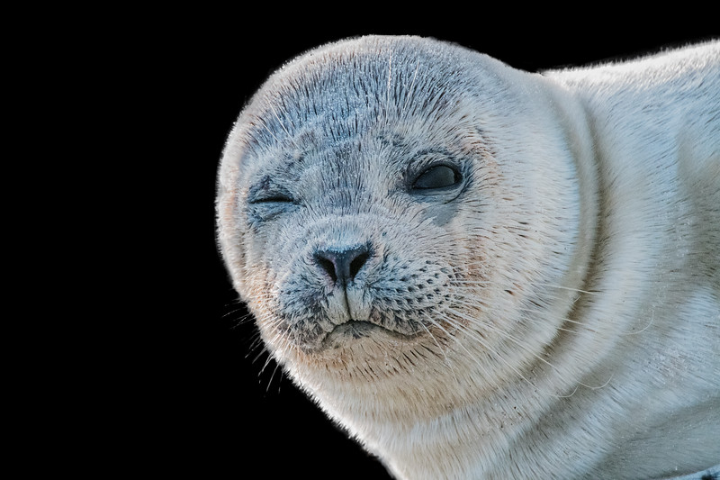 Grey seal pup blinking with his eye