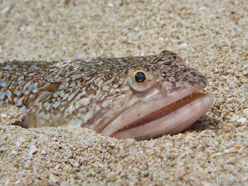 Atlantic Lizardfish